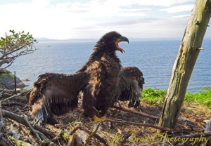 700-eagle_chick_feathered1