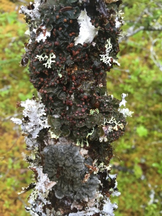"""The globally rare Erioderma pedicellatum, in one of it's """"microlandscapes"""""""