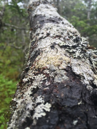 View up a tree trunk covered with lichen. In our paper, we propose that patches of lichens on a tree trunk are analogs for landscapes