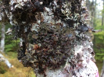 Our favourite lichen - the boreal felt lichen (Erioderma pedicellatum)