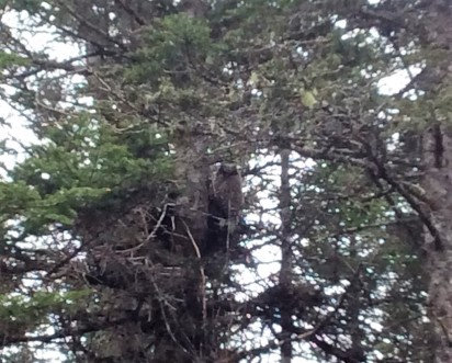 Can you spot the Great Horned Owl?