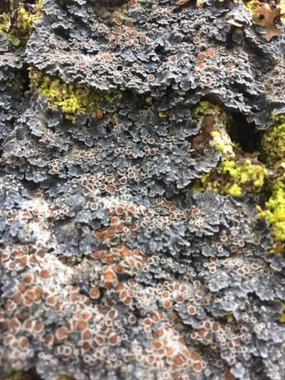 A cool lichen (photo by Travis Heckford)