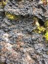 A cool lichen (photo by Travis Heckford)